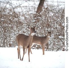 Whitetail deer doe in snow - A white-tailed deer doe...