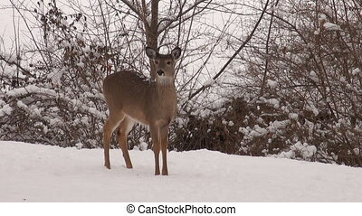 A whit-tailed deer doe standing in the snow following a winter storm