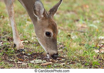 Whitetail Deer Doe - A whitetail deer doe grazes in the...