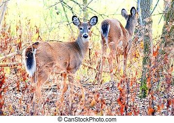 Whitetail Deer Doe - Whitetail deer doe standing in the...