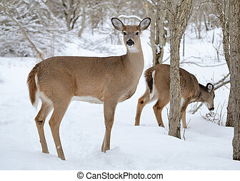 Whitetail deer doe standing in the woods in winter snow.