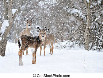 Whitetail Deer Doe - Whitetail deer doe and yearlings ...