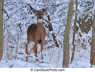 Whitetail Deer Doe - Whitetail deer doe standing at the ...