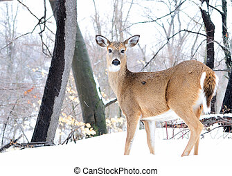 Whitetail Deer Doe - Whitetail deer doe standing in the ...