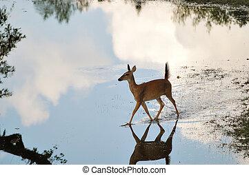 Whitetail Deer Doe - Whitetail deer doe walking across a...
