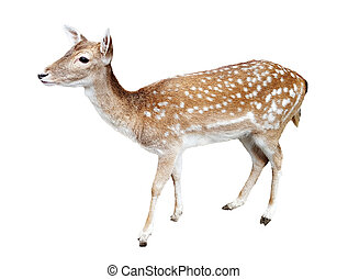 Whitetail deer fawn on white background