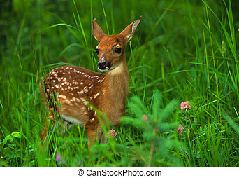 Whitetail Deer fawn - a cute whitetail deer fawn standing in...