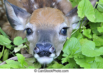 Whitetail Deer Fawn - Closeup shot of a newborn whitetail...