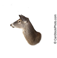 Whitetail Doe Deer Head Profile - A profile of a whitetail...