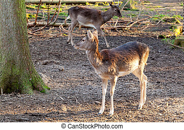 whitetail doe in a forest in the springtime, with sunlight