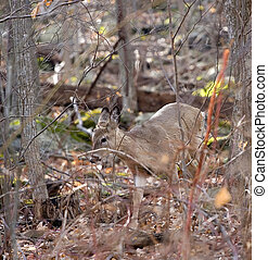 whitetail doe on the move in a morning forest