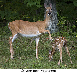 whitetail fawn being disciplined - Whitetail doe with it's ...