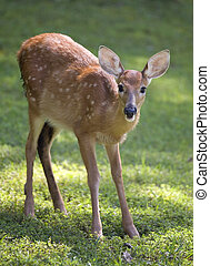 whitetail fawn on grass still in spots