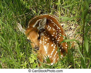Whitetail fawn lying in grass