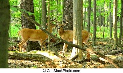 whitetail, mâle, cerf, velours