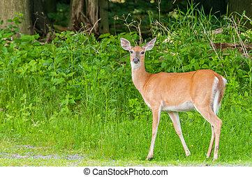 whitetail, srna, jelen