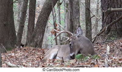 Whitetailed deer buck bedded - Whitetail deer buck bedded in...