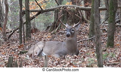 Whitetailed deer buck bedded