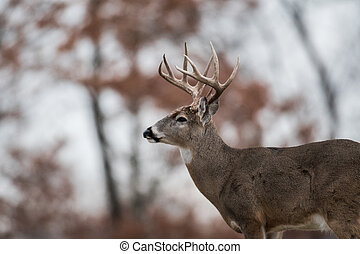 Whitetailed deer buck - White-tailed deer buck in the woods...