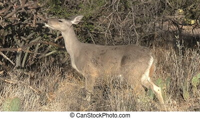 Whitetailed Deer In Sonoran Desert - Whitetailed Deer in...