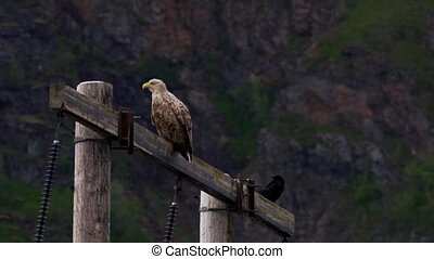 whitetailed eagle in norway (lofote