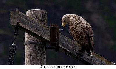 whitetailed eagle in norway (lofoten)