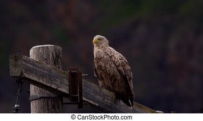 whitetailed eagle in norway
