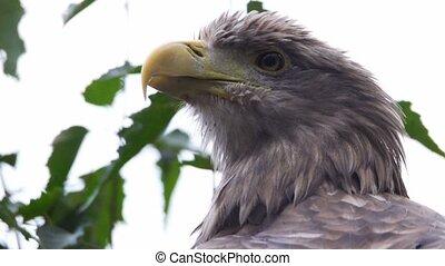 whitetailed eagle on a tree