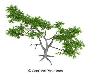 Whitethorn acacia or Acacia constricta - Whitethorn acacia...