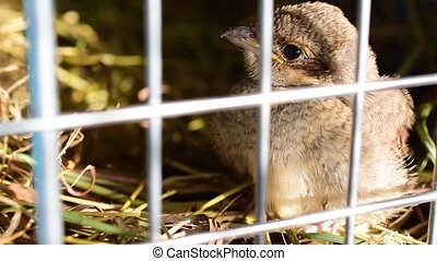 Whitethroat fledgeling in a plastic cage - Whitethroat...