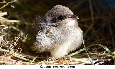 Whitethroat nestling cleans its feathers - Cute whitethroat...