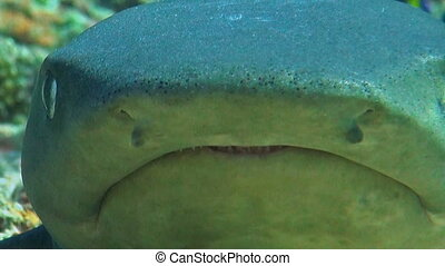Whitetip reef shark close up