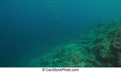 Whitetip reef shark with a school of Barracudas on a coral reef.