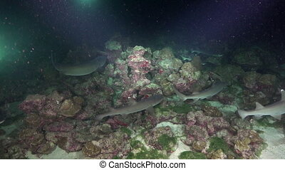 Whitetip Reef sharks At Night In search of food.