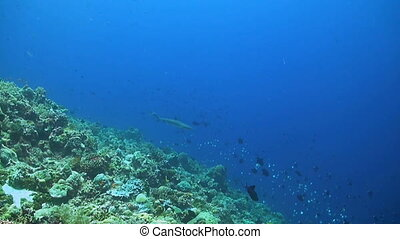 Whitetip reef sharks on a coral reef