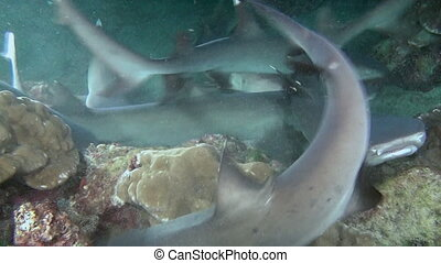 Whitetip Reef sharks on rocky reef search food.