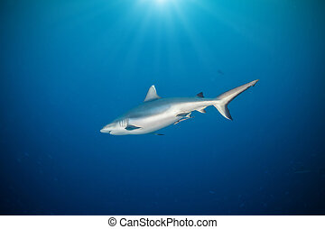 Whitetip shark floating in deep water blue with sunrays