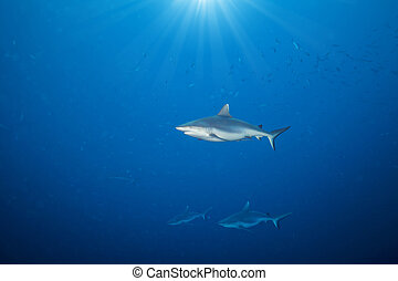 Whitetip sharks floating in deep water