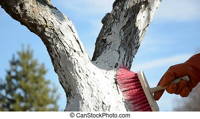 whitewash apple tree trunk