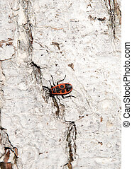whitewashed tree bark texture with Cardinal beetle on multicolored bark.