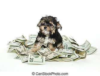 A cute little Morkie puppy sitting in a pile of moeny on a white background.