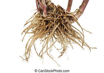 valerian - whole fresh root valerian on white background