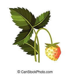Whole Immature Strawberry Fruit Hanging on Thin Stalk Vector Illustration. Worldwide Cultivated Aromatic Juicy Berry Having Sweet Flavor