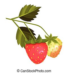 Whole Strawberry Fruit Ripe and Immature with Green Leaves Vector Illustration. Worldwide Cultivated Aromatic Juicy Berry Having Sweet Flavor