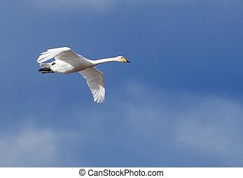 Whooper svan in flight - One flying whooper (cyngus cyngus).