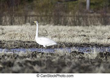 Whooper Swan in Water