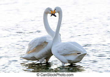 Whooper Swans make a heart shape with their necks