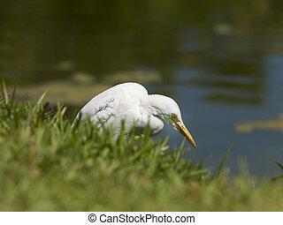 whooper swan with yellow beak