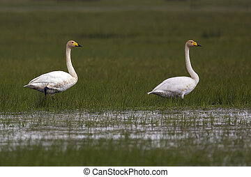 Whooper Swans in the wild