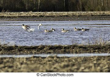 Whooper Swans in Water